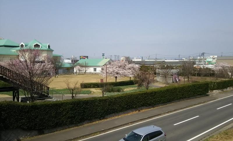 桜満開の新潟市
