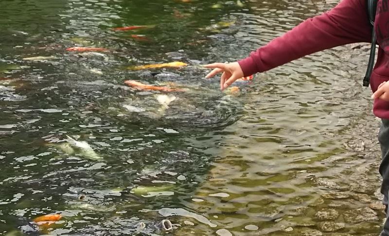 鯉の餌やり体験